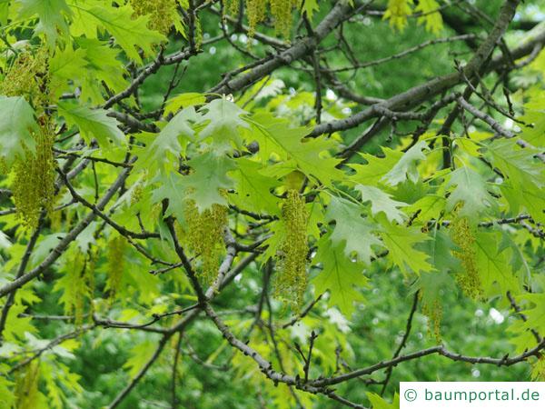Roteiche (Quercus rubra) Blüte