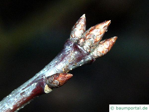 Roteiche (Quercus rubra) Zweig mit Endknospe