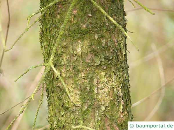 Rot-Fichte (Picea rubens) Stamm