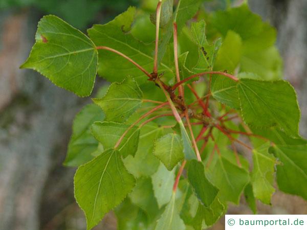 italienische Säulenpappel (Populus nigra 'Italica') Austrieb