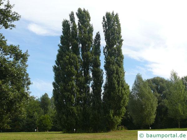 italienische Säulenpappel (Populus nigra 'Italica') Baumgruppe