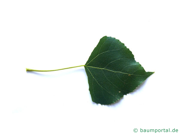 italienische Säulenpappel (Populus nigra 'Italica') Blatt