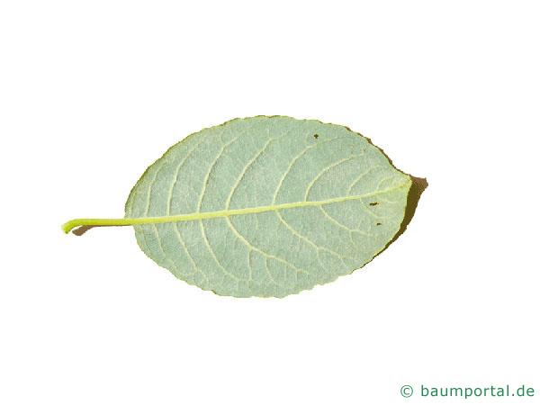 Sal-Weide (Salix caprea) Blattunterseite