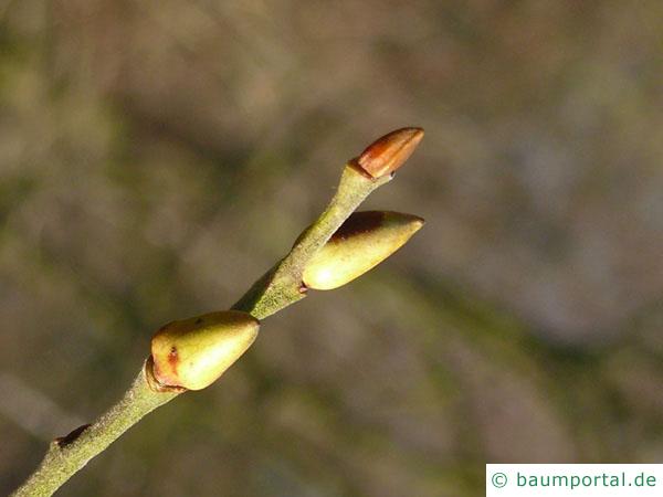 Sal-Weide (Salix caprea) Knospe