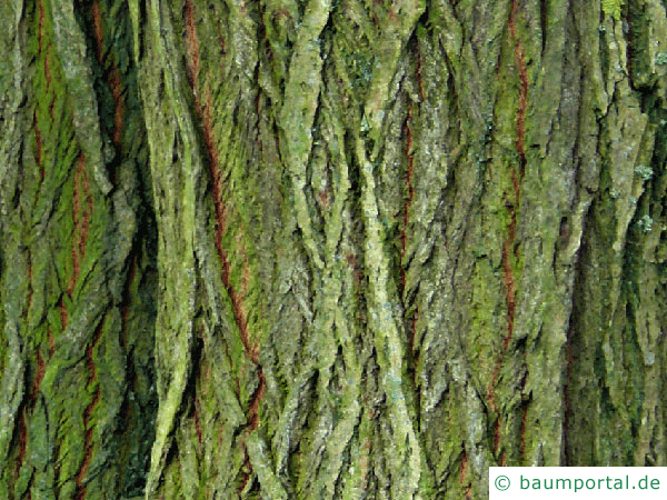 Sal-Weide (Salix caprea) Stamm / Borke / Rinde