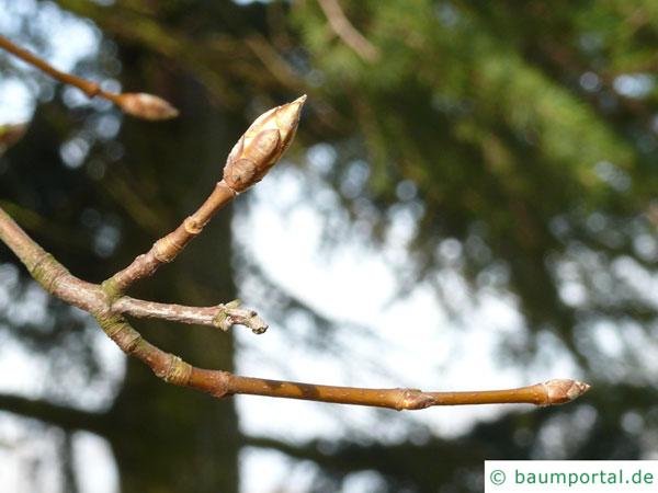 schneeballblättriger Ahorn (Acer opalus) Knospen
