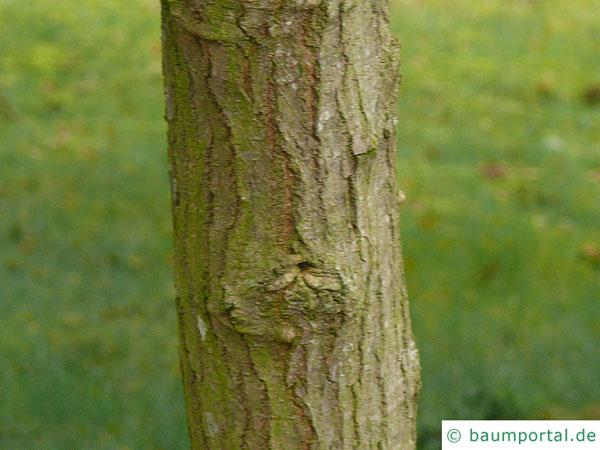 schwarze Maulbeere (Morus nigra) Stamm / Rinde / Borke