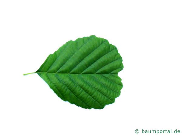Schwarz-Erle (Alnus glutinosa) Blatt