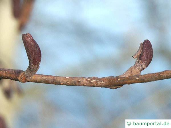 Schwarz-Erle (Alnus glutinosa) Stamm