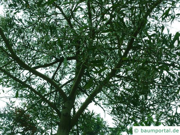 Schwarzholz-Akazie (Acacia melanoxylon) Krone im Sommer