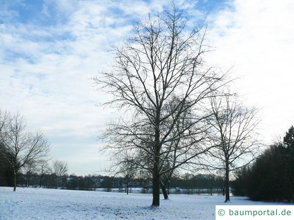 Schwarz-Pappel (Populus nigra) Baum im Winter