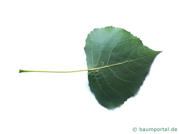 Schwarz-Pappel (Populus nigra) Blattunterseite
