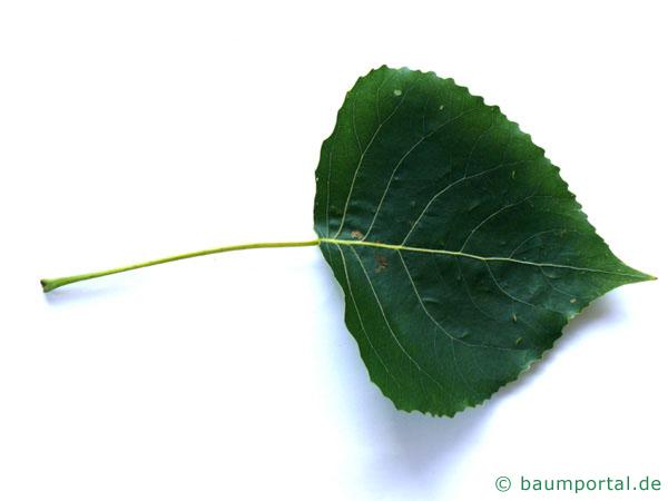 Schwarz-Pappel (Populus nigra) Blatt