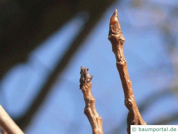 Schwarz-Pappel (Populus nigra) Endknospen