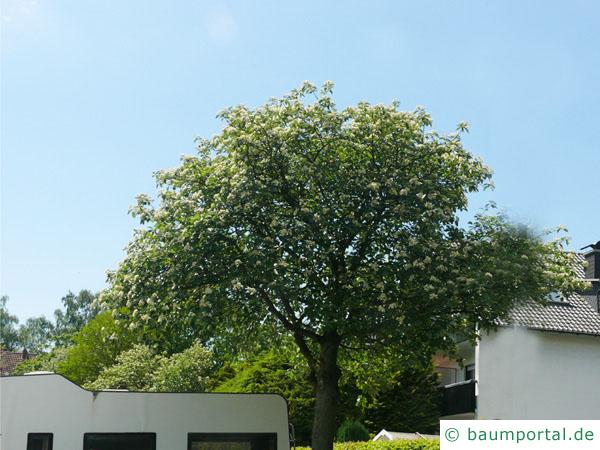 schwedische Mehlbeere (Sorbus intermedia) Baum im Sommer