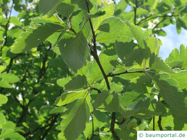 schwedische Mehlbeere (Sorbus intermedia) Blätter