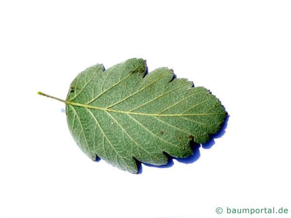 schwedische Mehlbeere (Sorbus intermedia) Blattunterseite