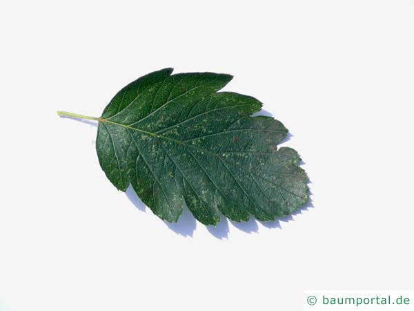 schwedische Mehlbeere (Sorbus intermedia) Blatt