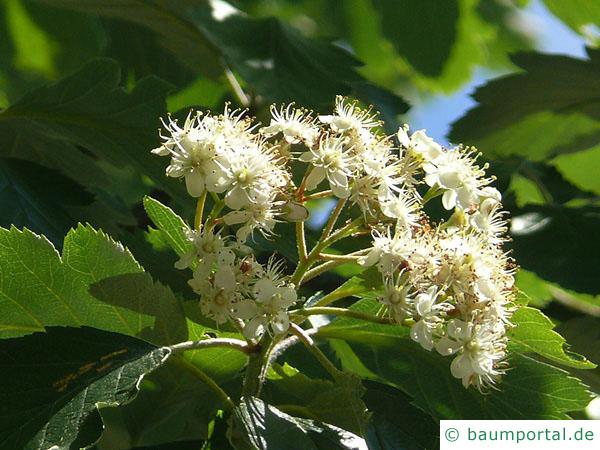 schwedische Mehlbeere (Sorbus intermedia) Blüte