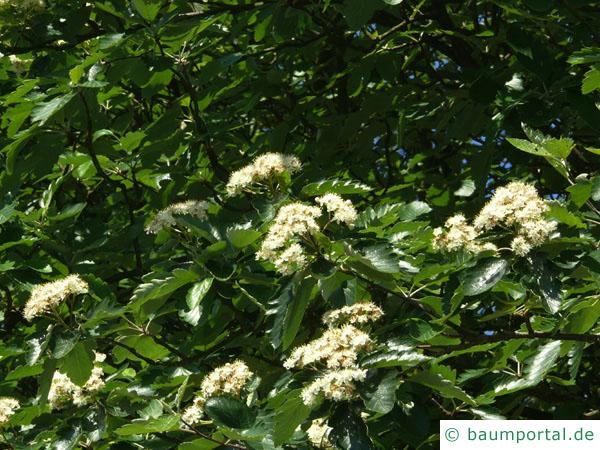 schwedische Mehlbeere (Sorbus intermedia) Blüten