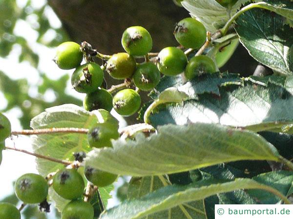 schwedische Mehlbeere (Sorbus intermedia) Früchte im Sommer