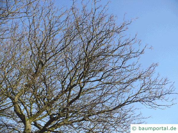 schwedische Mehlbeere (Sorbus intermedia) Krone im Winter