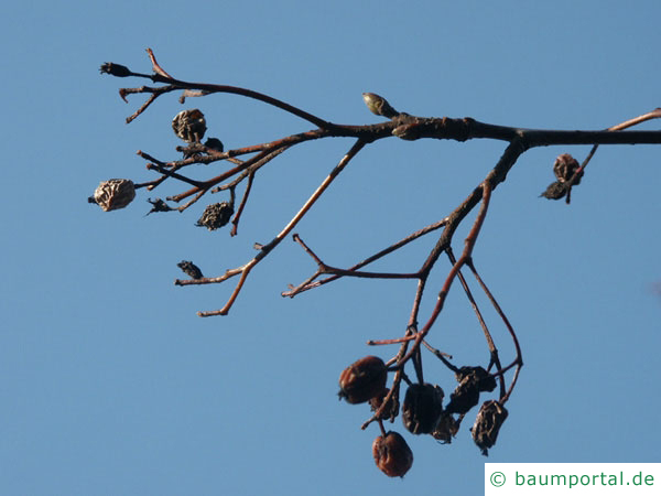 schwedische Mehlbeere (Sorbus intermedia) vertrocknete Früchte im Winter