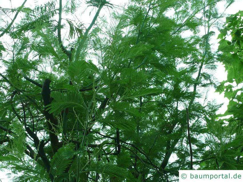 Silber-Akazie (Acacia dealbata) Baumkrone