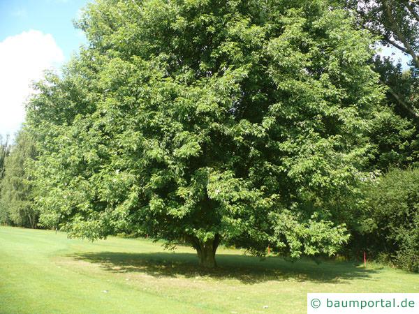 Silber-Ahorn (Acer platanoides) Baum im Sommer
