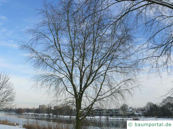 Silber-Ahorn (Acer platanoides) Baum im Winter