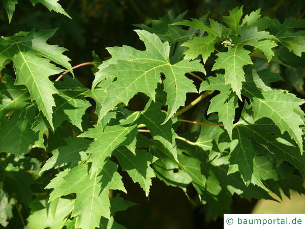 Silber-Ahorn (Acer platanoides) Blätter im Sommer