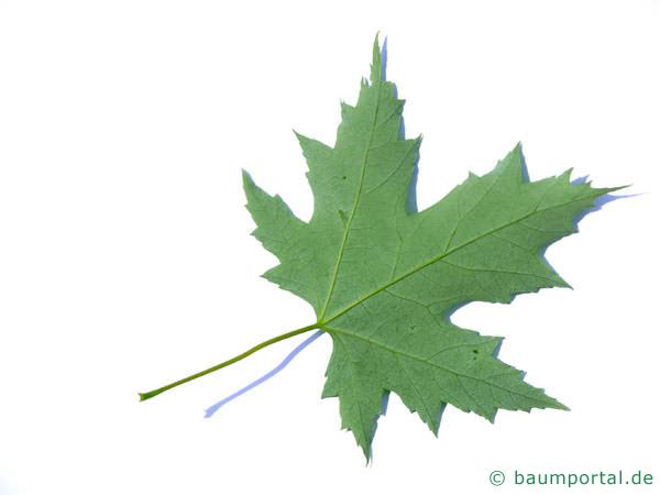 Silber-Ahorn (Acer platanoides) Blattrückseite