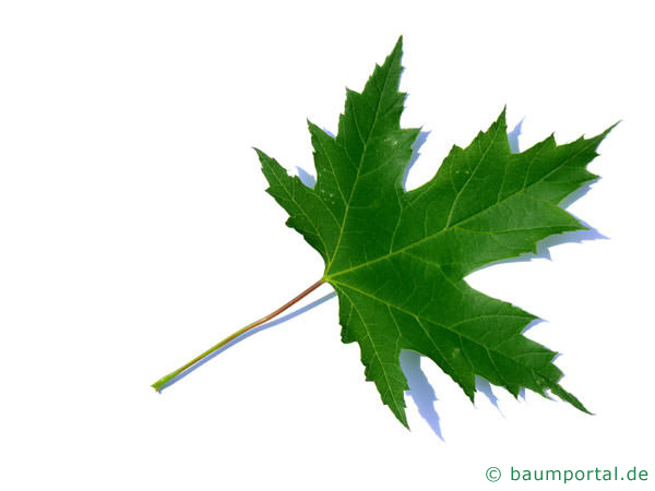 Silber-Ahorn (Acer platanoides) Blatt