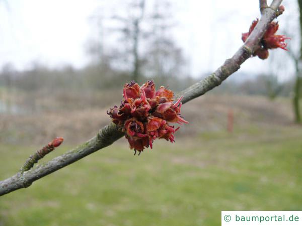 Silber-Ahorn (Acer platanoides) rötliche kleine Blüte