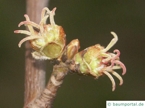 Silber-Ahorn (Acer platanoides) die Frucht sind geflügelte Nüsschen