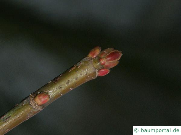 Silber-Ahorn (Acer platanoides) rote Endknospen