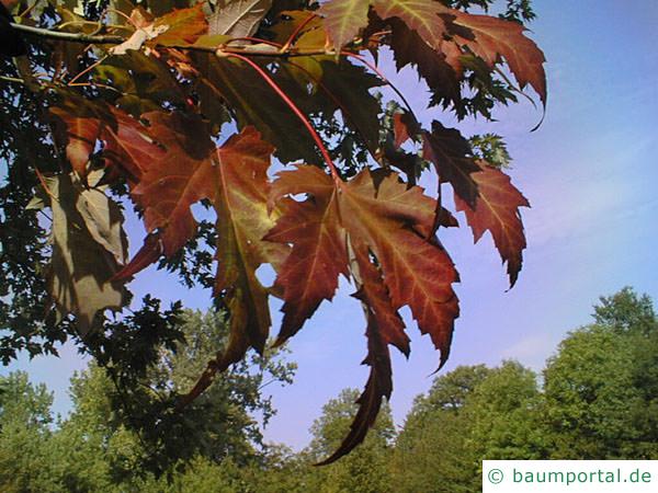 Silber-Ahorn (Acer platanoides) Die Blätter im Herbst sind rötlich