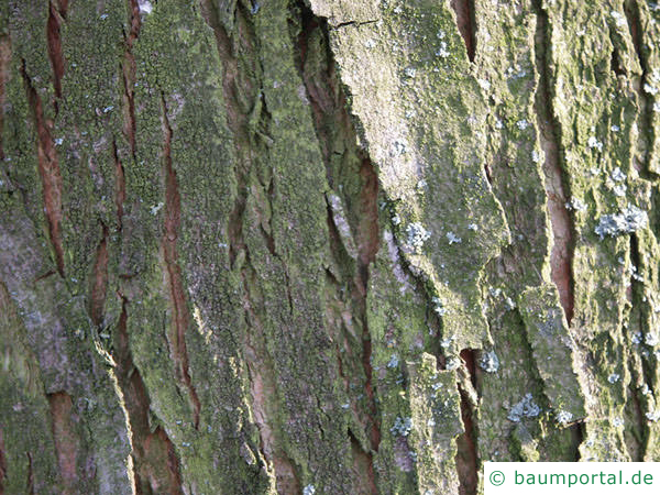 Silber-Ahorn (Acer platanoides) der Stamm ist leicht gefurcht