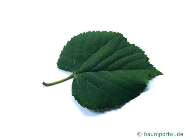 Silber-Linde (Tilia tomentosa) Blatt