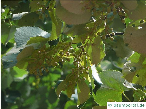 Silber-Linde (Tilia tomentosa) Wintermerkmal getrocknete Blätter und Früchte