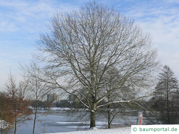 Silber-Pappel (Populus alba) Baum im Winter