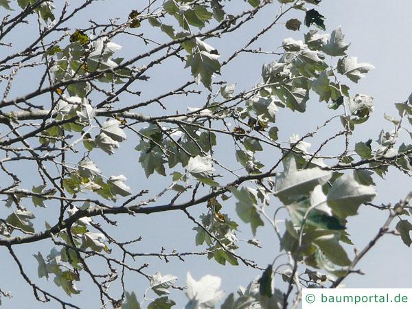 Silber-Pappel (Populus alba) Blätter