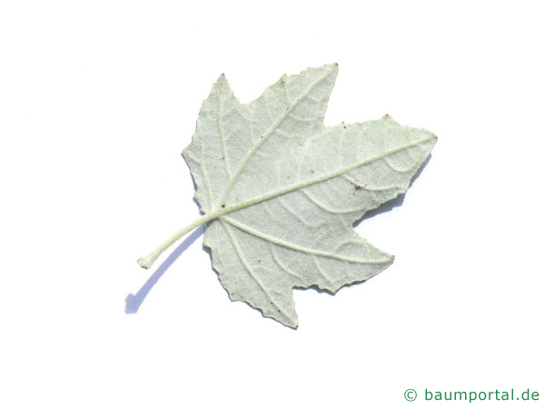 Silber-Pappel (Populus alba) Blattunterseite