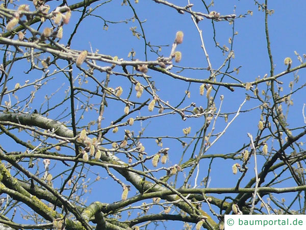 Silber-Pappel (Populus alba) Blüten
