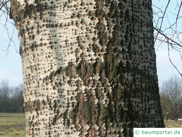 Silber-Pappel (Populus alba) Stamm / Rinde / Borke