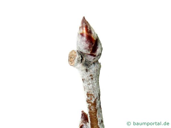 Silber-Pappel (Populus alba) Knospe