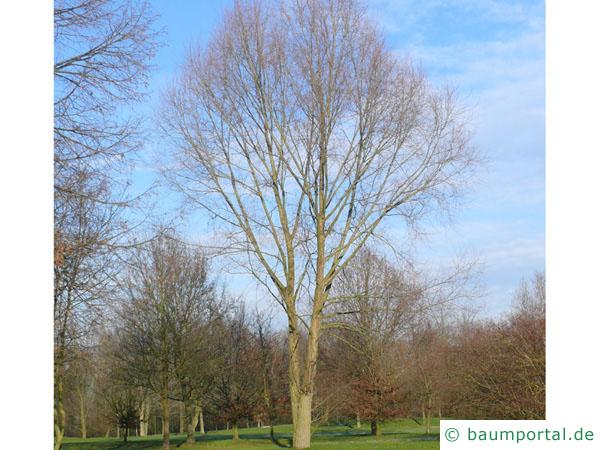Silber-Weide (Salix alba) Baum im Winter