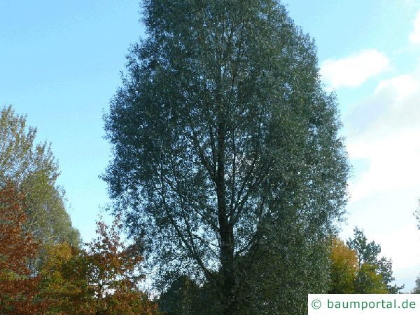 Silber-Weide (Salix alba) Baum