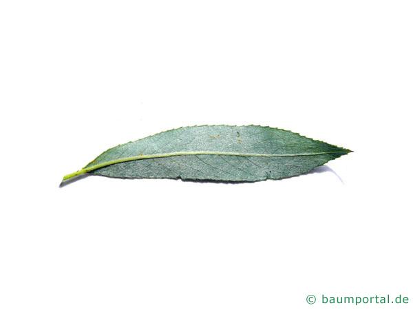 Silber-Weide (Salix alba) Blattunterseite