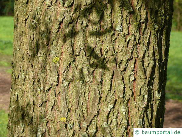 Silber-Weide (Salix alba) Stamm / Borke / Rinde